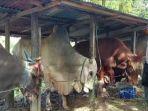 aktivitas-peternakan-sapi.jpg