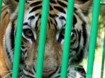 harimau-lepas-di-singkawang_1.jpg