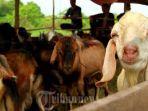 ilustrasi-ternak-kambing.jpg