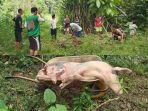 puluhan-ekor-babi-dikubur-di-desa-wa-yagung-dan-desa-bungayan.jpg