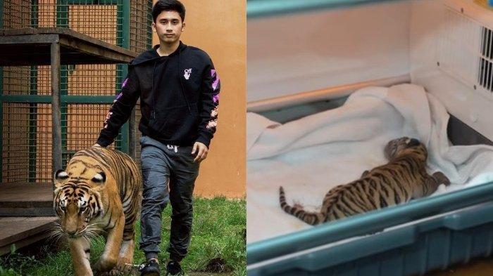 Penampakan Serigala dan Harimau Saat Bersama Alshad, Ini Aksi Sepupu Raffi Ahmad dan Nagita