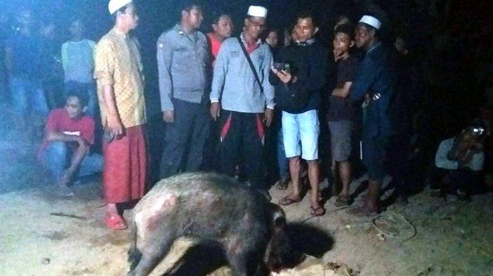 Desa Podok Geger Babi Ngepet, Babi Disandera Hingga Pagi