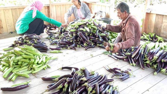 Tanpa Bakar Lahan, Petani Kalteng Sumringah Nikmati Hasil Panen di Demplot Gambut
