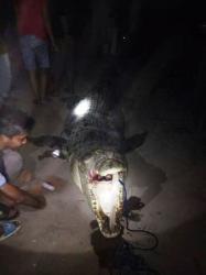 Buaya Raksasa Pemangsa di Sungai Mentaya Masih Berkeliaran, BKSDA Mengaku Kesulitan