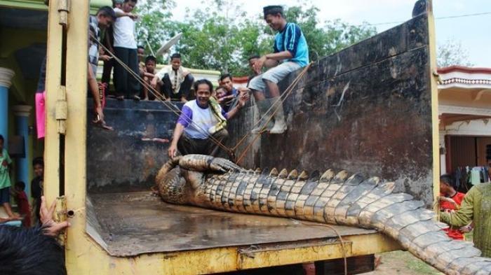 Hii, Ada Buaya Seukuran Dumptruk Nyangkut di Jaring Nelayan