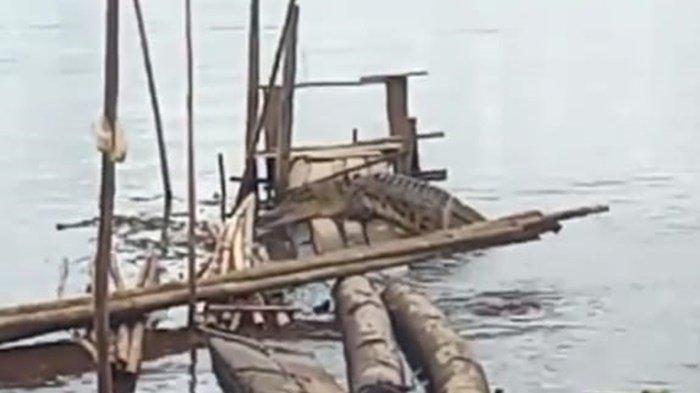 VIDEO Buaya Empat Meter Gegerkan Warga Pelangsian Sampit Muncul Naik ke Batang Kayu