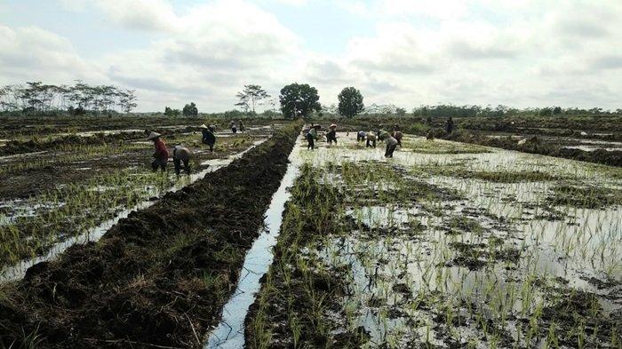 Demfarm yang dikembangkan BRGM berlokasi di Desa Talio Hulu, Kec. Pandih Batu, Prov. Kalimantan Tengah