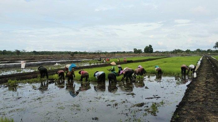 Jalankan Program Demfarm, Pokmas Binaan BRGM Optimistis Penuhi Kebutuhan Pangan Pandih Batu Kalteng