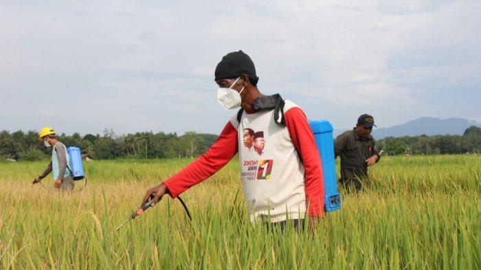 Hama Wereng Serang Lahan Pertanian di Bihara Balangan Kalsel