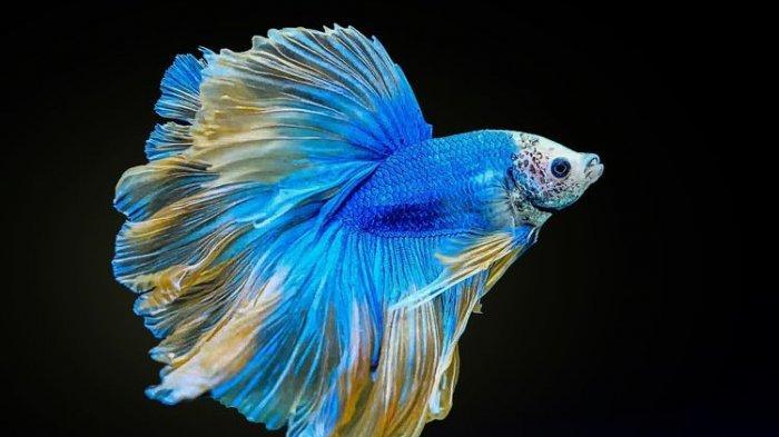 Ikan Cupang Anda Susah Buang Air Besar? Tenang, Ini Cara Gampang Mengatasinya, Tak Perlu Obat