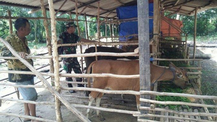 Babinsa Koramil 1011-02 Barimba Pantau Ternak Sapi di Desa Bakungin, Ini Tujuannya