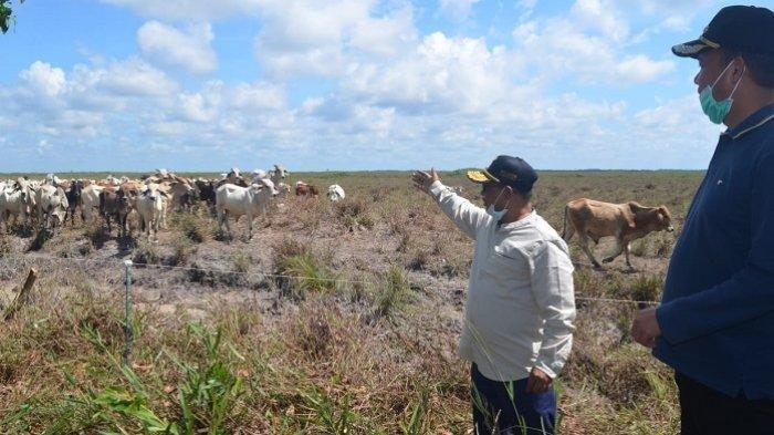Kabupaten Sukamara Kembangkan Peternakan Sapi, Dukung Program Food Etate Kalteng