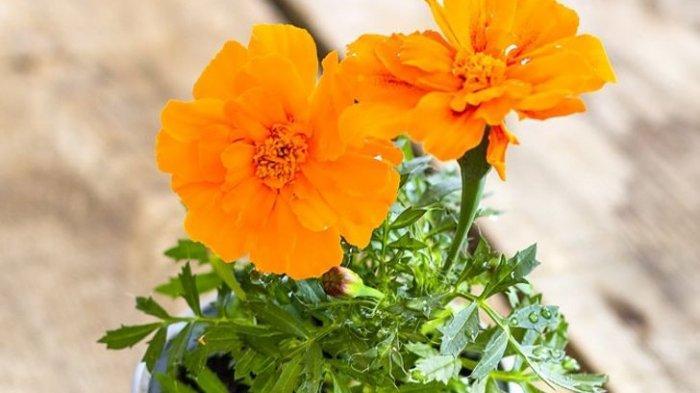 Marigold tanaman hias