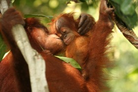 Menhut Lepasliarkan Orangutan