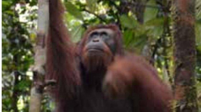 Tiga Bulan di Kebun Karet Warga, 2 Orangutan Dievakuasi Setelah Ditembak Bius Petugas BKSDA