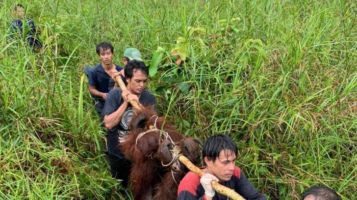 Dua Orangutan Tersesat di Kebun di Kotawaringan Barat Kalteng, Warga Merasa Waswas &Takut; Diserang