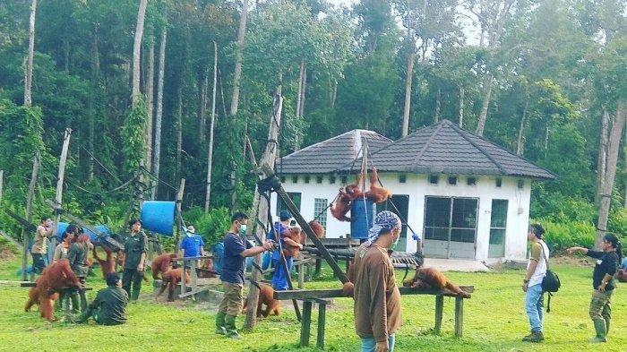 Kaltengpedia, Pusat Rehabilitasi Nyarumenteng Palangkaraya, Sekolahnya Orangutan