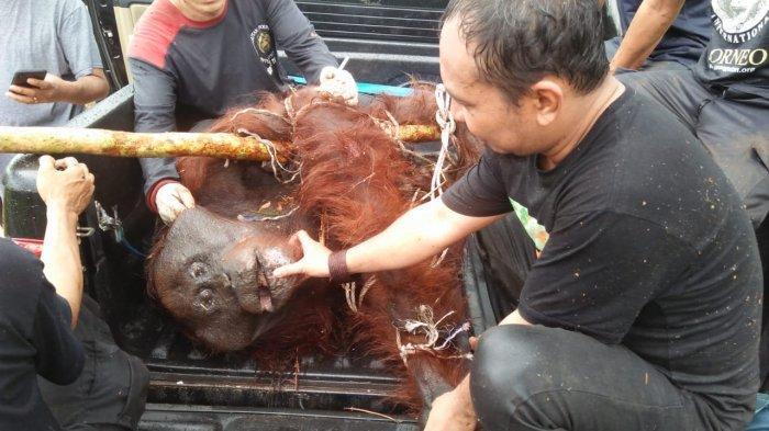 Sifat-sifatnya Berubah Akibat Konflik dengan Manusia, 300 Orangutan Direhabilitasi Yayasan BOS
