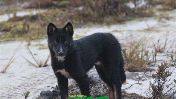 WOW! Ada Anjing Bernyanyi di Papua, Bernama Dingo & Dianggap Sakral Suku Moni di Pegunungan Carstenz