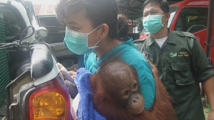 Astaga! Ditemukan Bekas Luka Tembak di Tubuh Bayi Orangutan Ini