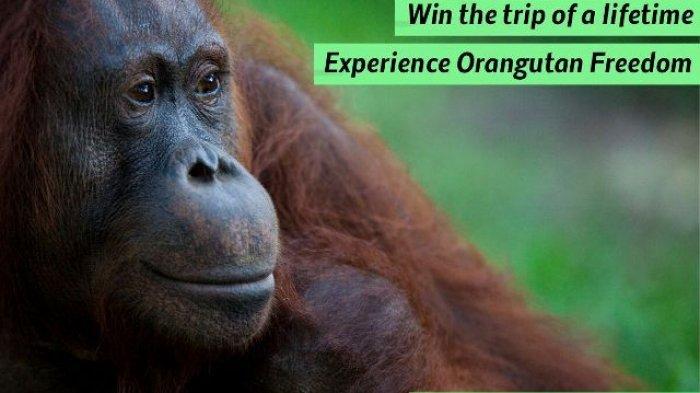 Nikmati Perjalanan ke Habitat Orangutan, Dijamin Seru!