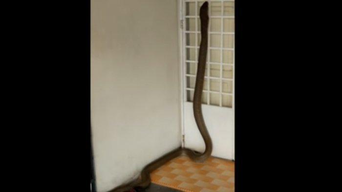 Fenomena Teror Ular Kobra di Berbagai Daerah, Begini Penjelasan Ahli