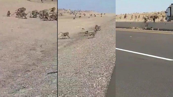 VIDEO: Ribuan Monyet Serbu Madinah Usai Banjir di Mekkah, Ada Apa Ini?