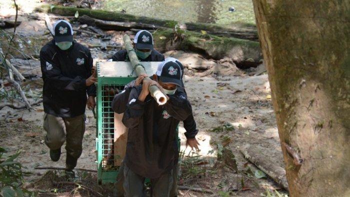 Jelang HUT ke-73 RI, Yayasan BOS Palangkaraya Lepasliarkan 10 Orangutan