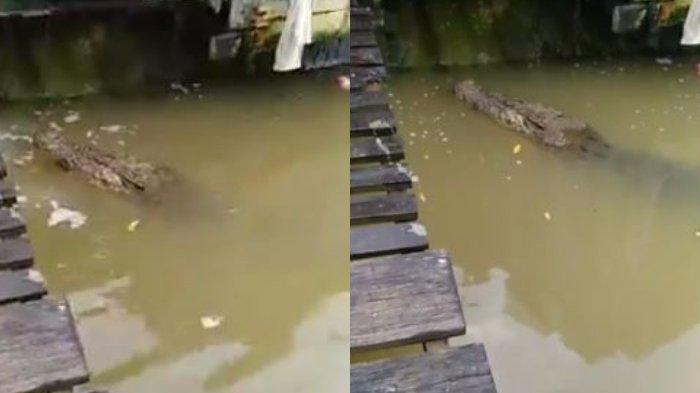 Sering Bersiliweran di Sungai Mentaya, Kemunculan Buaya Ganas Pulau Hanaut Kalteng Jadi Biasa