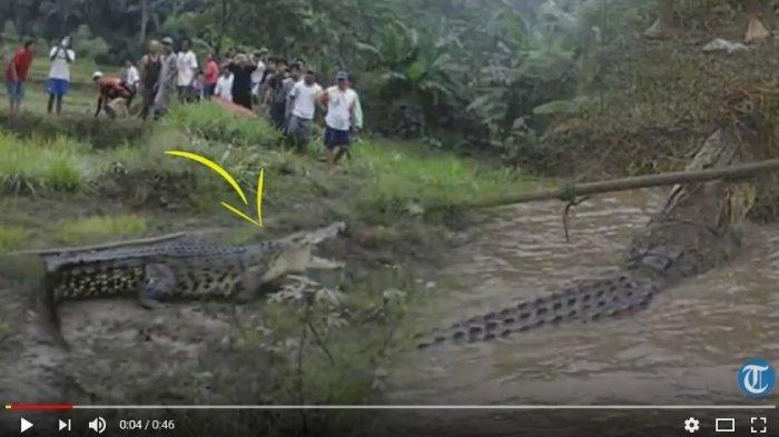 VIDEO: Astaga! Buaya Raksasa Muncul di Persawahan, Warga Heboh