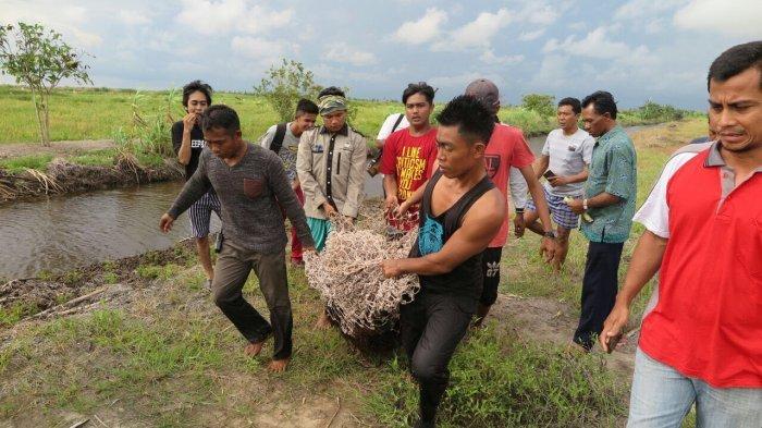Orangutan Sering Masuk ke Lahan Pertanian, Warga Minta Bantuan BKSDA