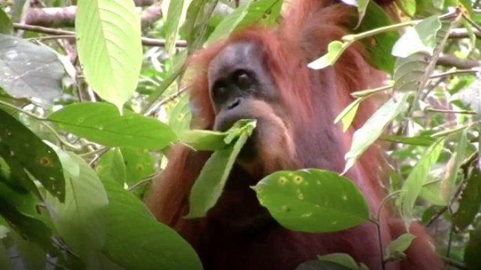 Orangutan Dibantai dan Bangkainya Ditemukan di PBS Sawit Seruyan, Ternyata Orang Ini Pelakunya