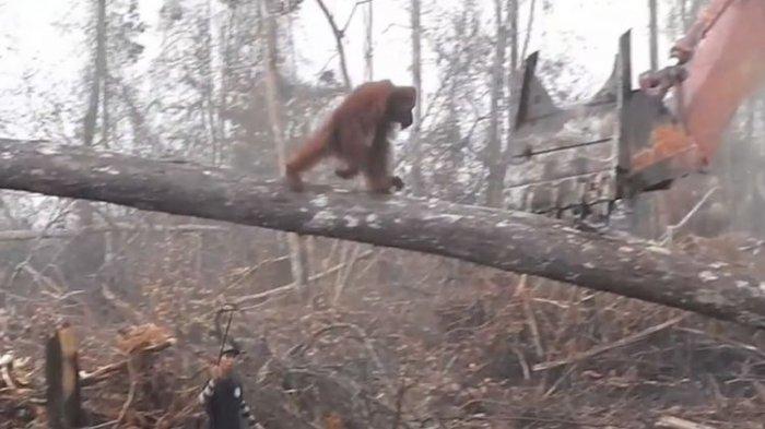 VIDEO: Orangutan Hadapi Buldozer Saat Habitatnya Dirusak, Viral!