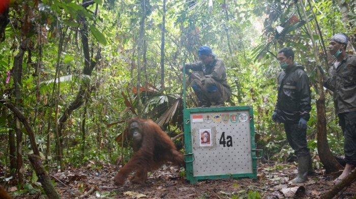 Dua Orangutan Selundupan Thailand Ini Akhirnya Dilepasliarkan