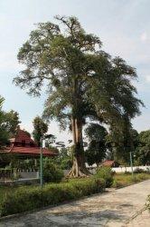 Heboh Air Keluar dari Batang Pohon Berusia 500 Tahun yang Tumbang, Begini Kata Saksi Mata