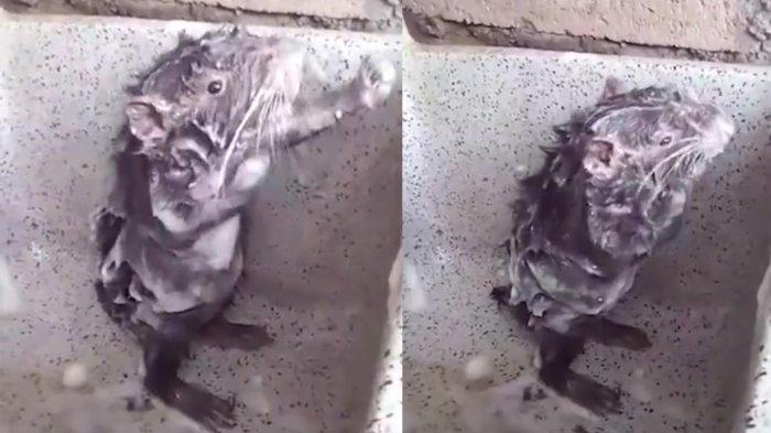 VIDEO: Tikus Mandi Pakai Gosok Sabun ke Tubuh, Gayanya Mirip Manusia!