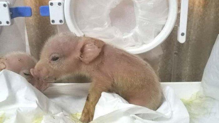 Makhluk Campuran Babi dan Monyet Lahir, Hasil Eksperimen Peneliti