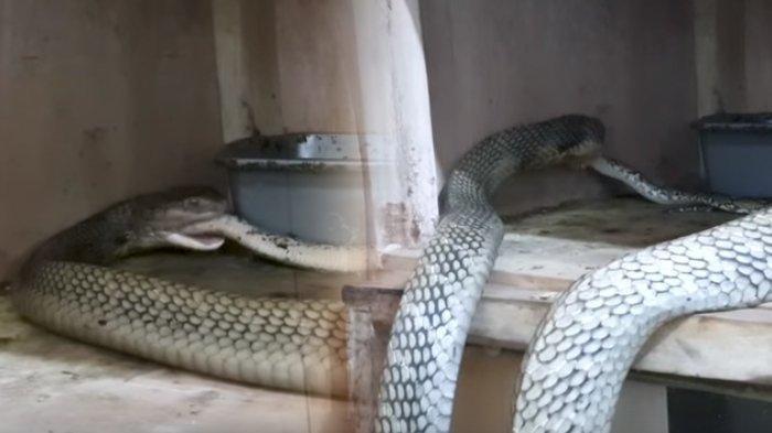 Ular King Kobra Raksasa Telan Piton, Perutnya Kembang Kempis