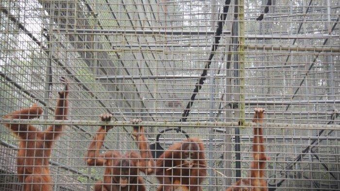 Puluhan Orangutan di Pusat Rehabilitasi Terpapar Kabut Asap, Terjangkit Infeksi