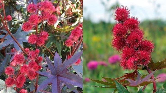 Ini 5 Tumbuhan Mematikan di Dunia, Ada yang Mirip Rambutan di Indonesia