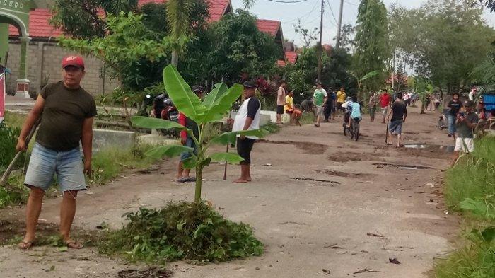 Protes Jalan Rusak, Warga Manjuhun Tanam Pisang di Tengah Jalan