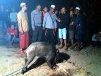babi-hutan-yang-menghebohkan-warga-desa-podok_20181020_170647.jpg