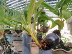 bonsai-kelapa-yang-dijual-arief-asfsadfaf.jpg