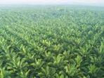 kebun-kelapa-sawit-pt-astra-agro-lestariaa.jpg