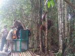 orangutan-dilepasliarkan_20170226_155624.jpg