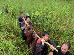 orangutan-diselamatkan-petugas-saat-tersesat-di-kebun-warga-pangkalanbun.jpg