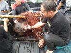orangutan-saat-diperiksa-kesehatannya-setelah-diselamatkan-dari-kebun-warga.jpg