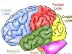 otak-manusia.jpg