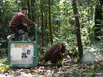 pelepasliaran-orangutan-hasil-rehabilitasi-yayasn-borneo-orangutan-survival-palangkaraya-asdffasd.jpg