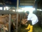 sapi-kurban-diperiksa-kesehatannya-oleh-dokter-hewan.jpg